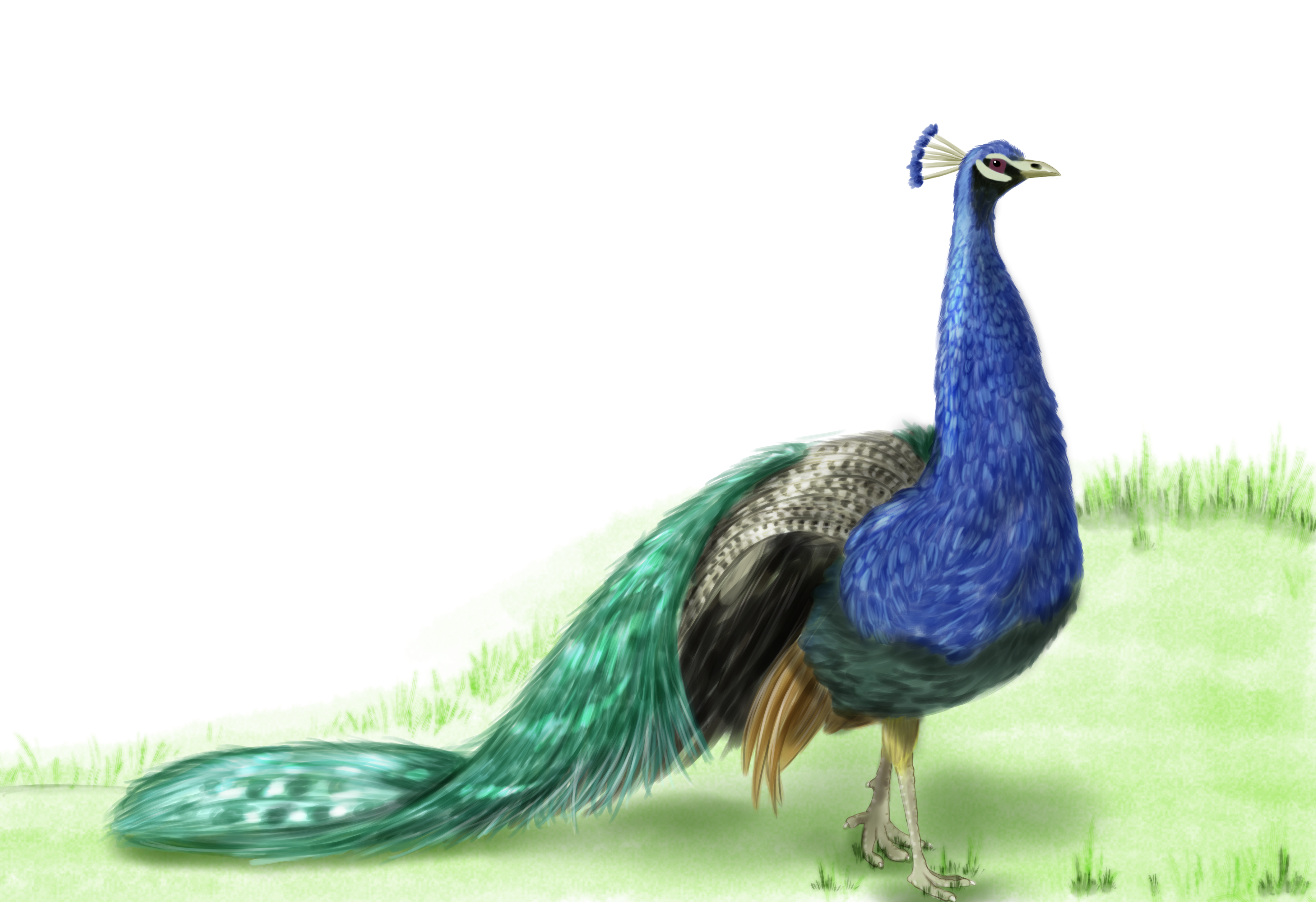 Peacock Illustration